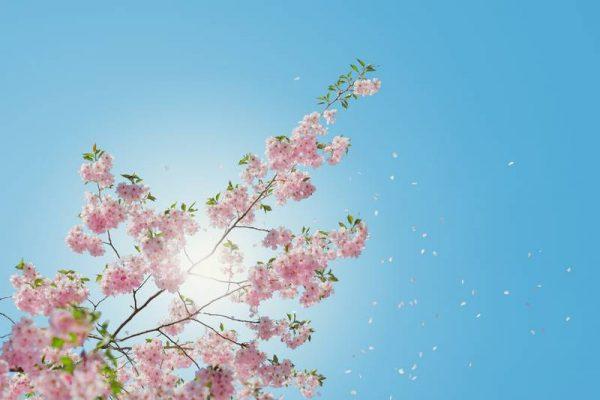 ajilden_blossom_result