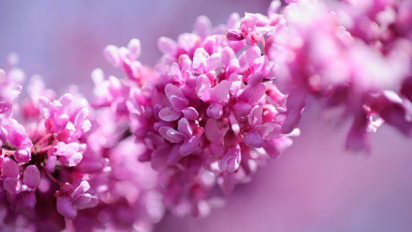 Ekilby Lilac2