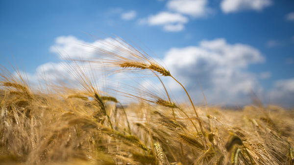 Hhoyer Corn