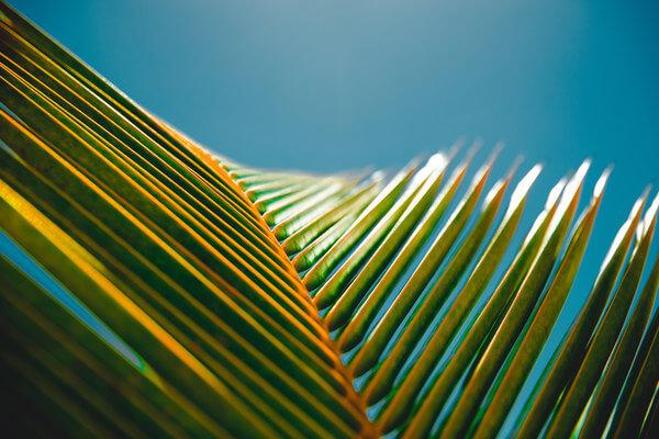 Jowens Palm