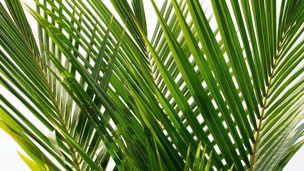 Proskurovskiy Palm