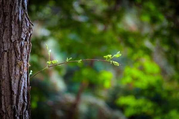 Bfantinatti Small Leaves