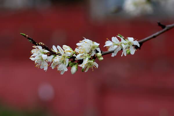 Sezgin Cherry Blossoms