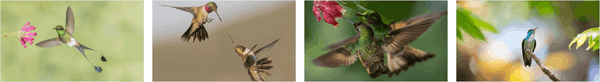 National Geographic Hummingbirds PREMIUM Stripe