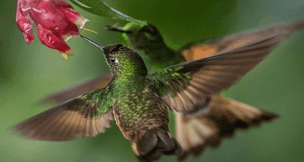 National Geographic Hummingbirds PREMIUM