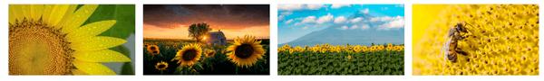 Sunflowers PREMIUM Themepack Stripe