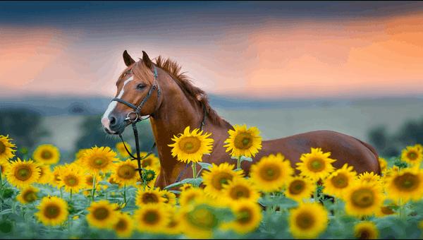 Sunflowers PREMIUM Themepack