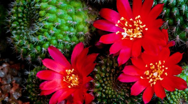 Kaktus Flowers Themepack